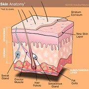 PROCES OPALOVÁNÍ - stavba kůže